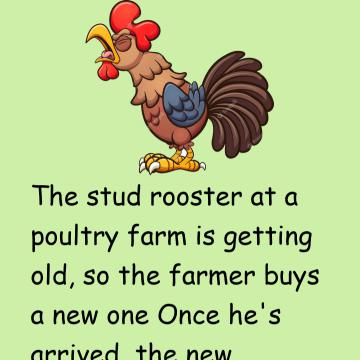 The Stud Rooster At A Poultry Farm Is Getting Old
